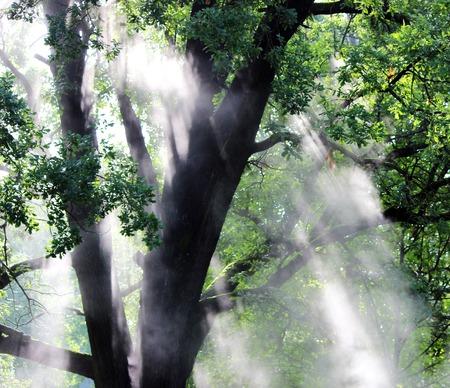 Hot steam shine in the morning sun Oak leaves