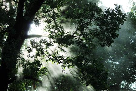 textura: brillare vapore caldo nelle foglie di quercia sole del mattino Archivio Fotografico
