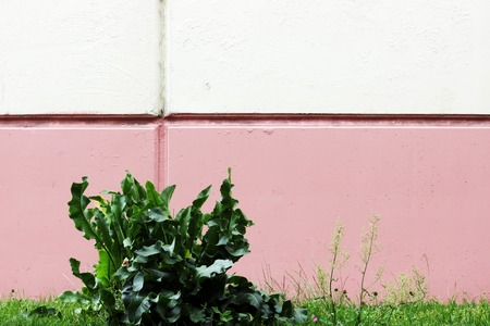 auroral: Cochlearia armoracia, Horseradish against the background of the walls painted in white and pink paint.