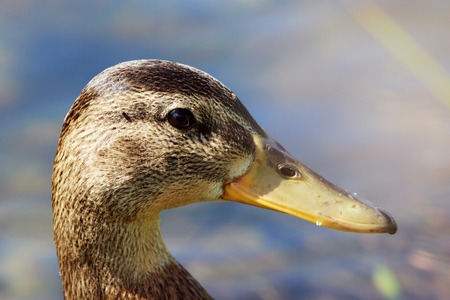 platyrhynchos: head duck Anas platyrhynchos in profile in the droplets, the brilliant sun, while swimming in the lake in the park.