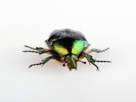 aurata: Green beetle. Rose chafer cetonia aurata isolated on white background Stock Photo