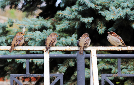 domesticus: Male sparrows Passer domesticus sitting on a white metal Bicycle parking