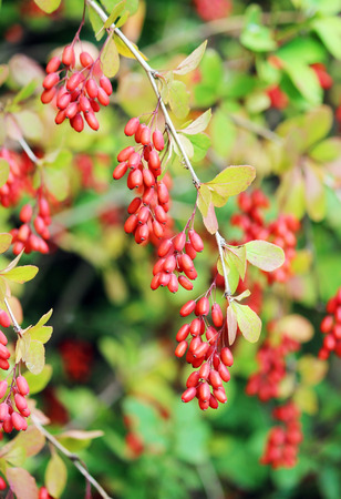 Branch of a red barberry Berberis close-up
