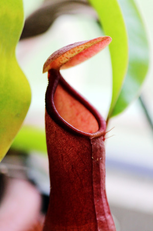 insectivorous: Macro insectivorous plants Nepenthes Ampullaria close up