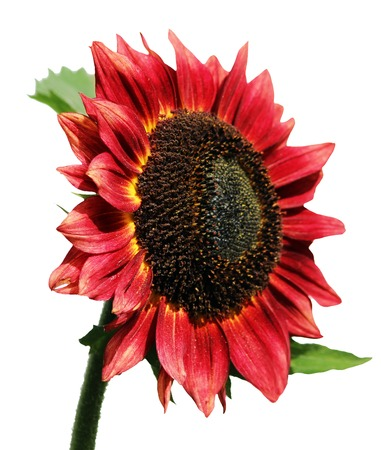 helianthus: isolated beauty flower Red Sunflower, Helianthus annuus
