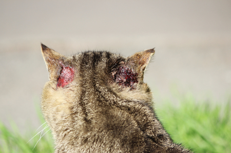 hardened: hardened homeless cat reed color with injuries to the ear and scabies otoacariasis typical scratching behind the ears