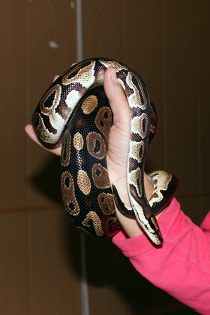 royal python: dwarf and royal python python regius sitting on his hands during the exhibition Stock Photo