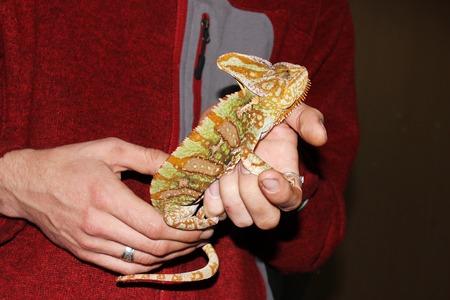 chamaeleo: Yemen chameleon Chamaeleo calyptratus is sitting on hands during the exhibition Stock Photo