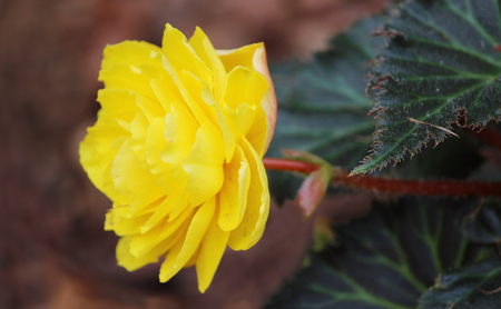tuberous: Bright flowers of tuberous begonias Begonia tuberhybrida in garden