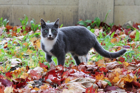 gray and white cat walking on the street beautiful autumn maple leaves on the ground