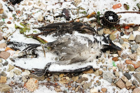 runoff: dead bird crow on the river bank in winter