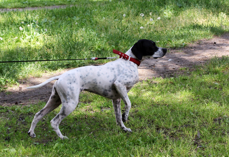 loony: Setter Dog Point preys on pigeons in the park, making the rack.