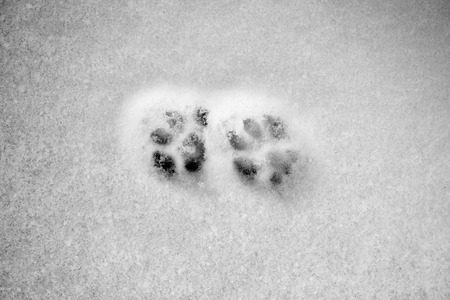 feline: snowy crust, feline prints trace, white background Stock Photo