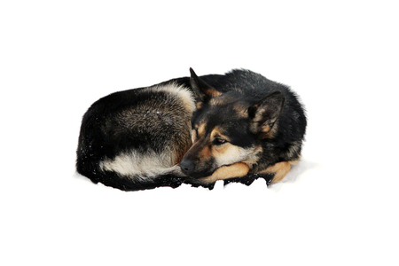 isolated stray dog lies on the snow curled up in the winter Stock Photo