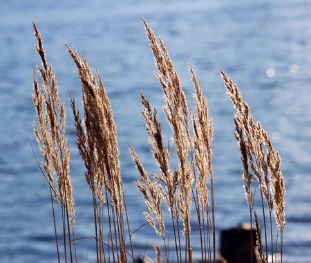 Tuft grass Calamagrostis epigeios on the blue water background.