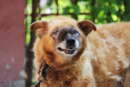 鼻腔内の領域に顔に手術不能悪性腫瘍と古いチェーン赤犬