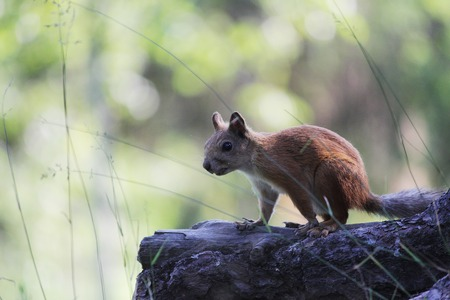 motionless: frightened Teen squirrel in wild forest stop stand on rhizome of pine
