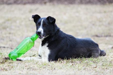 Perro blanco y negro se encuentra en la hierba e intenta abrir una botella de plástico verde con limonada