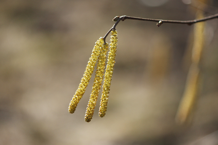 Yellow flowering earrings of an alder tree Alnus in early spring