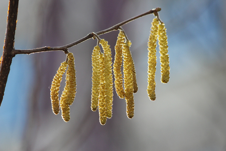 Yellow flowering earrings of an alder tree Alnus in early spring