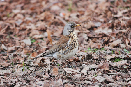 bird song: Song thrush Turdus philomelos walking on brown spring ground.