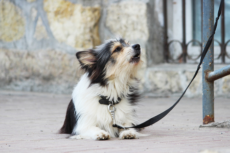A small black and white dog waiting for the owner and tied to the store.