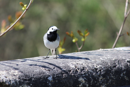 White Wagtail Motacilla alba sits on an ancient concrete pedestal of the 17th century