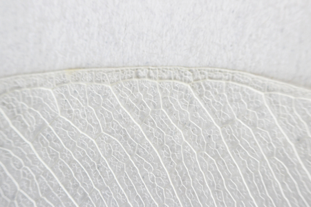Macro structure white delicate skeletonized leaf of ficus Ficus benjamina Фото со стока - 79080477