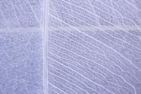 Macro structure white delicate skeletonized leaf of ficus Ficus benjamina Фото со стока