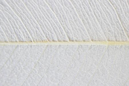 Macro structure white delicate skeletonized leaf of ficus Ficus benjamina Фото со стока - 79080482