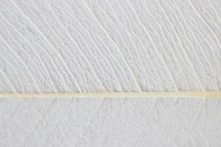 Macro structure white delicate skeletonized leaf of ficus Ficus benjamina Фото со стока - 79080484