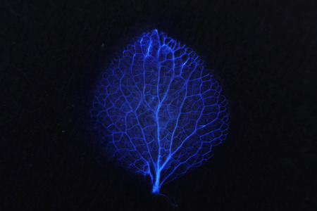Macro photography of the skeleton petal of Hydrangea petiolaris on a dark background in blue