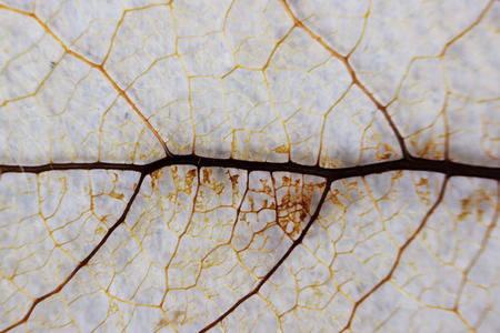 Macro structure brown delicate skeletonized leaf of shrub Фото со стока