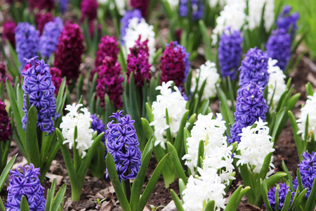 Group of purple, blue and white hyacinths of Hyacinthus flowers grows on flower bed in Gatchina park Stock Photo