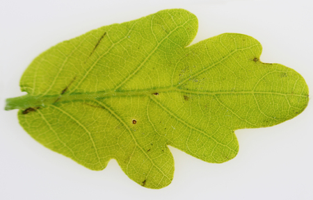 Young leaf Oak Quercus macro close up in spring on white background