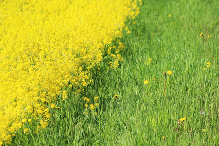 The yellow field of the blossoming Barbarea rape in early summer mixed with green grass
