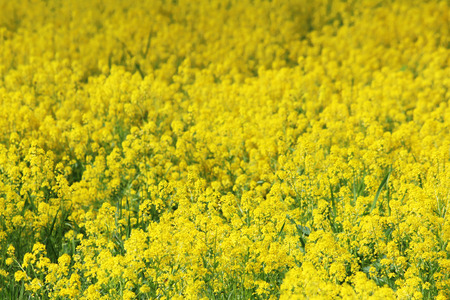 The yellow field of the blossoming Barbarea rape in early summer.