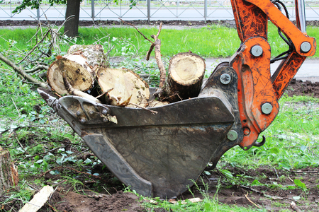 mass storage: Mass cutting of adult poplars in the city. The excavator with bucket moves the wooden pieces.