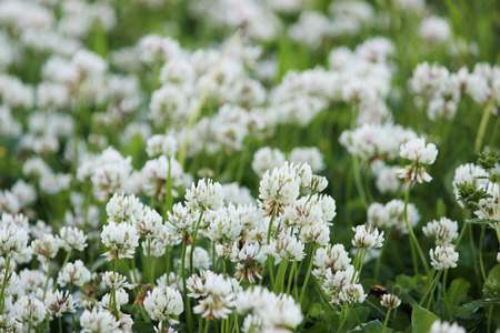 A clearing of a white clover Trifolium repens. Stock Photo
