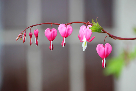 Spring flowers series, Bleeding Heart flower Dicentra spectabilis