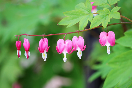 Spring flowers series bleeding heart flower dicentra spectabilis spring flowers series bleeding heart flower dicentra spectabilis stock photo 81267853 mightylinksfo