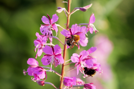 plant willow herb Chamerion angustifolium are blooming And the Bumblebee pollinates the flower Stock Photo