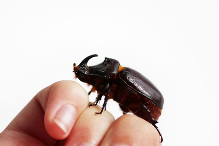 coleoptera: A rhinoceros beetle Oryctes nasicornis runs on a hand on a white background. Stock Photo