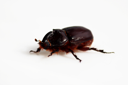 A rhinoceros beetle Oryctes nasicornis runs on a white background. Stock Photo