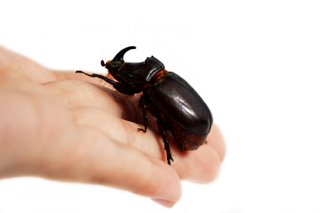 A rhinoceros beetle Oryctes nasicornis runs on a hand on a white background. Stock Photo