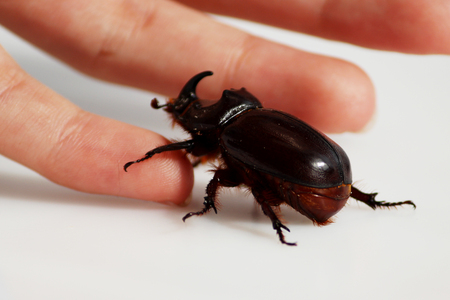 A rhinoceros beetle Oryctes nasicornis runs on a hand on a white background