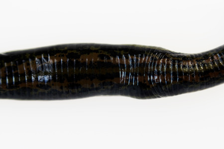 Medicinal leech Hirudo medicinalis oriental subspecies with ornament on the back on a white background, macro.