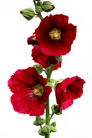 Bright red large flowers mallow in summer on a white background isolated.