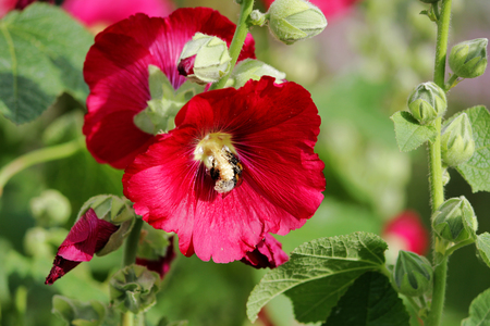 Bright red large flowers mallow with bumblebee in summer. Stock Photo