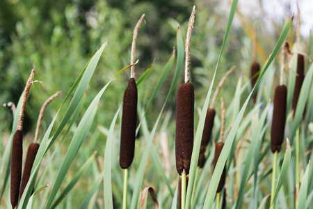 wetland-plant Typha latifolia, the Broadleaf cattail - from the cattail family Typhaceae Stock Photo